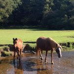 horses new forest